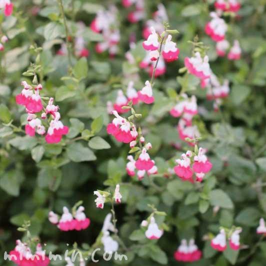 チェリーセージの花の写真と花言葉と誕生花