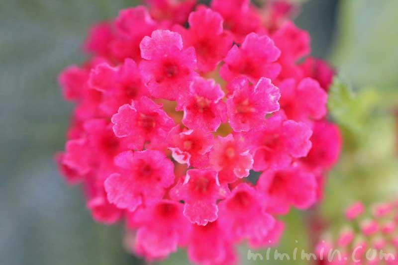 シチヘンゲ(赤色)|花の写真の画像