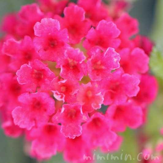 ランタナ(赤)|花の写真の画像