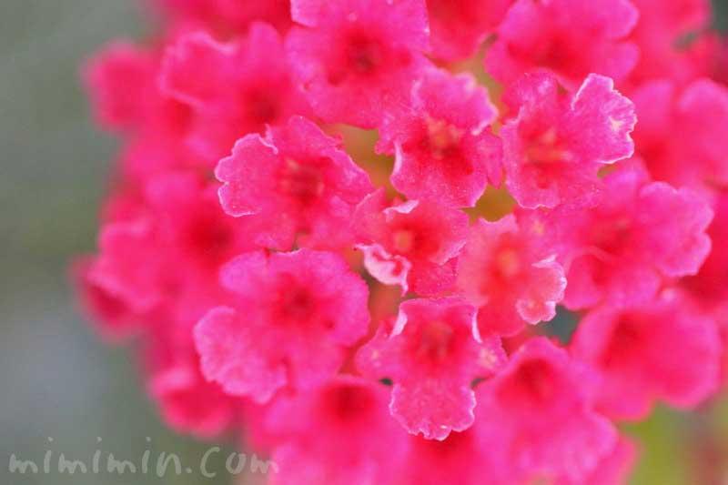 シチヘンゲ(赤)|花の写真