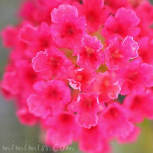 ランタナ(赤色)|花の写真