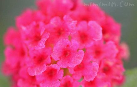 シチヘンゲ(赤色)|花の写真と花言葉の画像