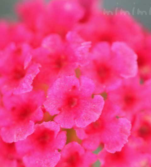 ランタナの花言葉・名前の由来|ランタナの花の写真