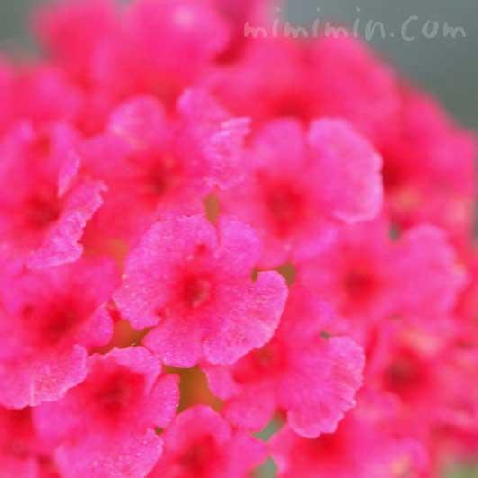 ランタナ(赤)|花の写真と花言葉の画像