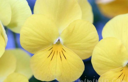 三色すみれの花(黄色)の写真