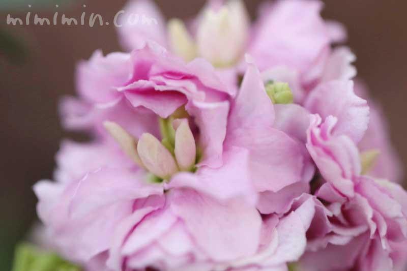 ストック(ピンク)の花の写真・花言葉の画像