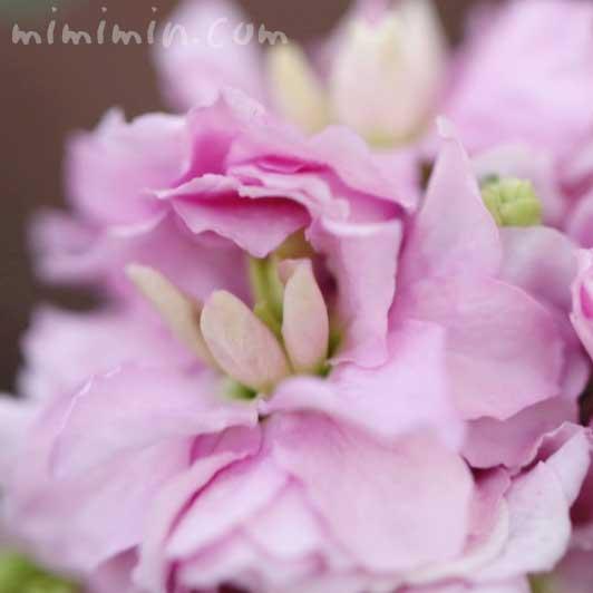 ストック(ピンク)の花言葉・誕生花の画像