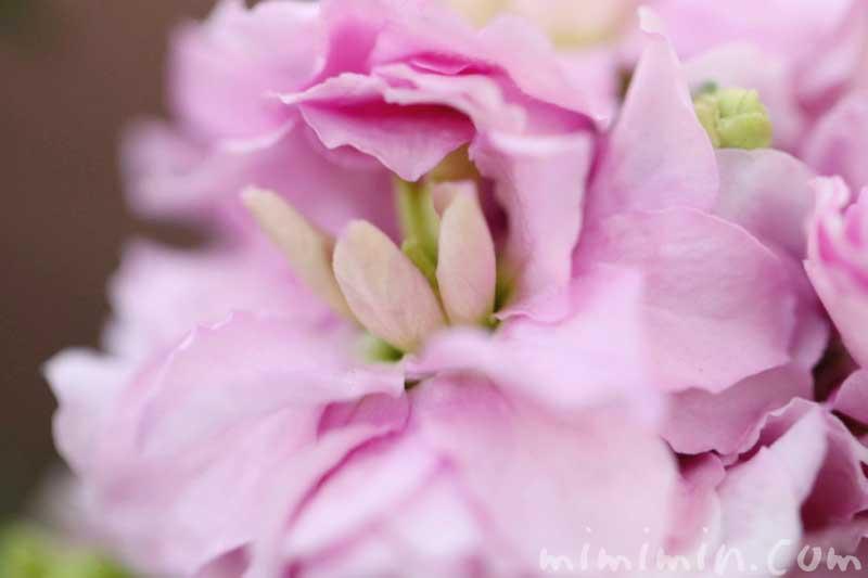 ストック(ピンク)の花の写真と花言葉