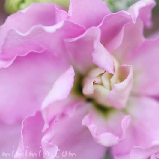 ストック(ピンク)の花言葉と誕生花