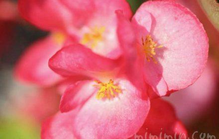 ベゴニアの花の写真 花言葉の画像