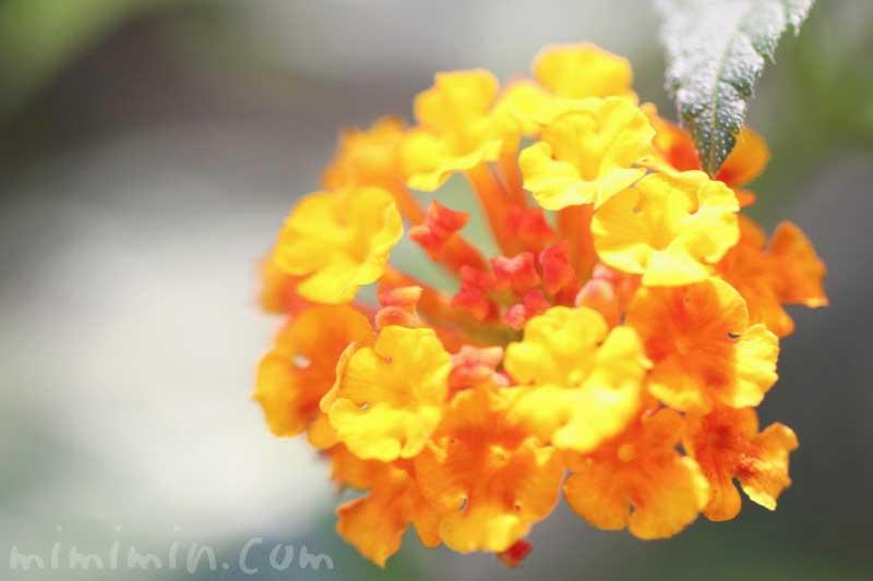 シチヘンゲ写真と花言葉の画像
