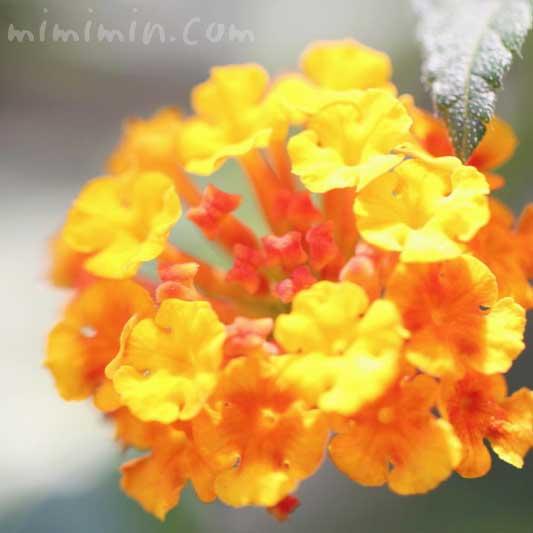 ランタナの花の写真 花言葉