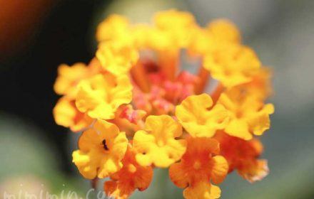 シチヘンゲの花の写真と花言葉の画像