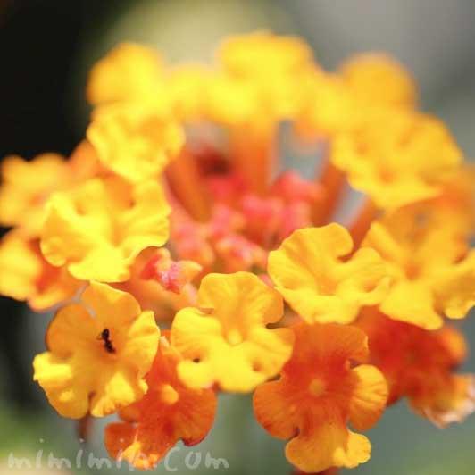 シチヘンゲの花の写真 花言葉