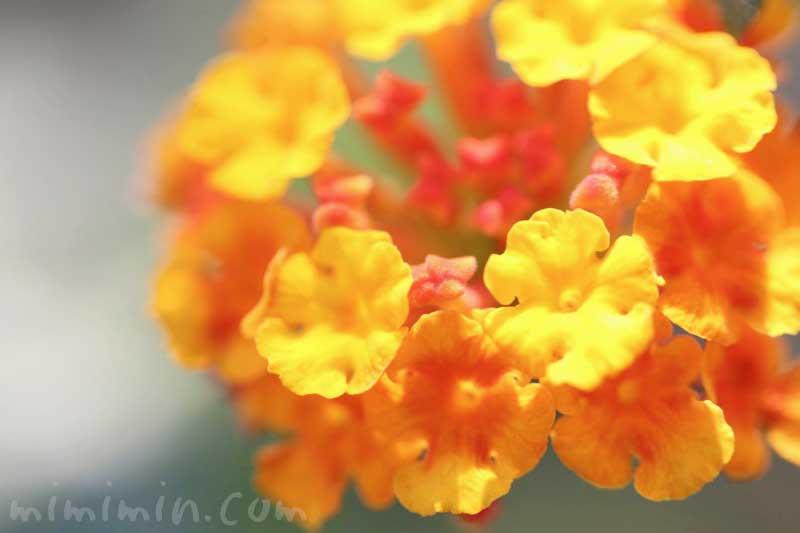 ランタナの花の写真と花言葉の画像