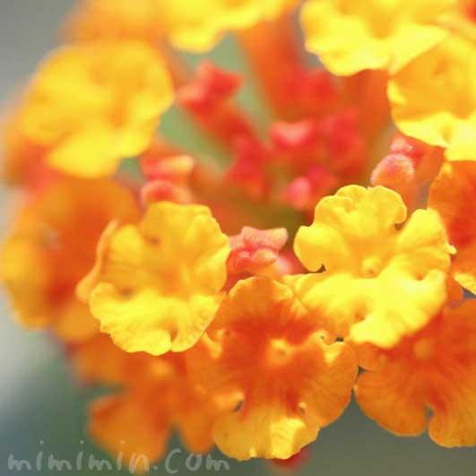 シチヘンゲ写真 花言葉