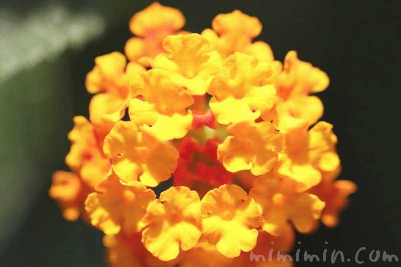 ランタナの写真と花言葉の画像