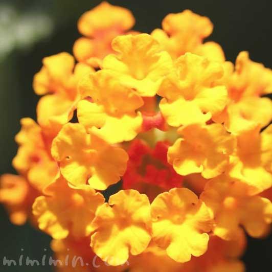 ランタナ(オレンジ色)の花の写真と花言葉