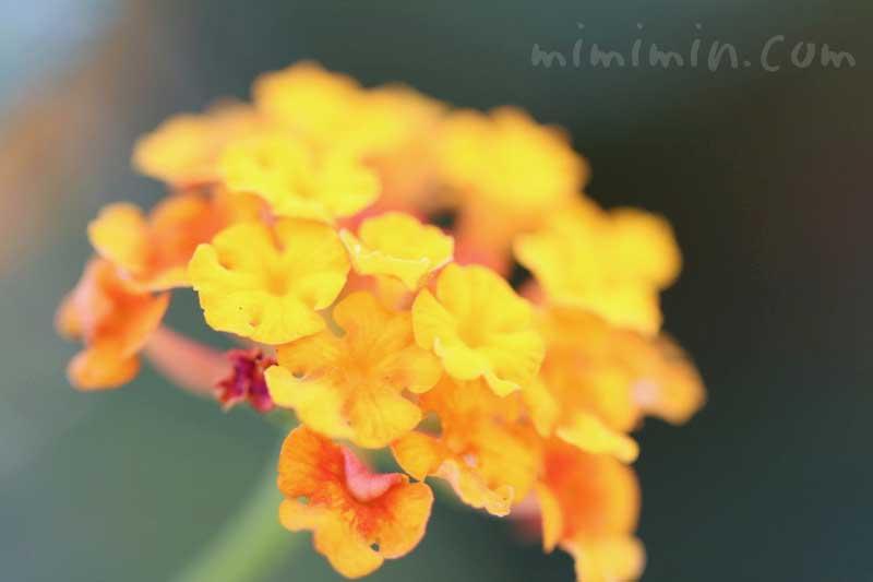 ランタナ(オレンジ色)の写真と花言葉の画像