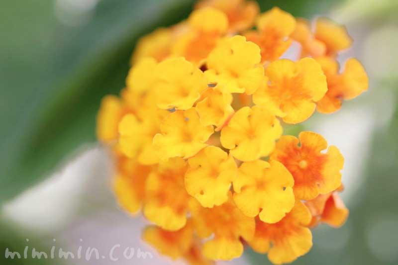 ランタナ(オレンジ色)|花の写真と花言葉の画像