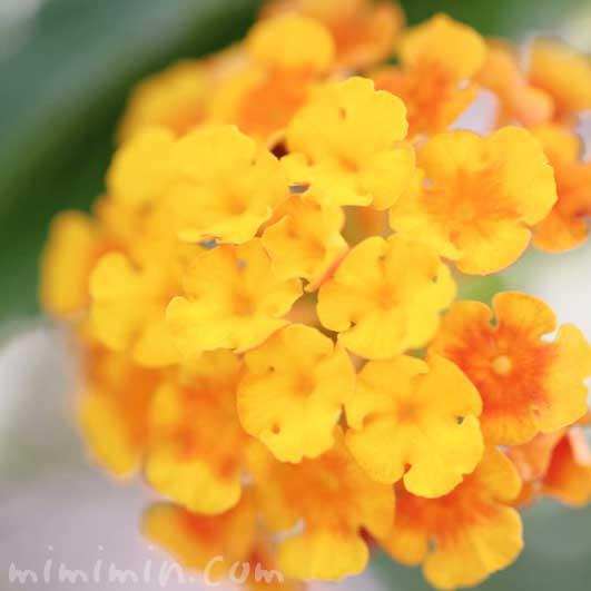 ランタナの写真 花言葉