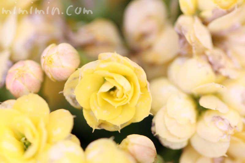 カランコエの花の写真・花言葉・誕生花