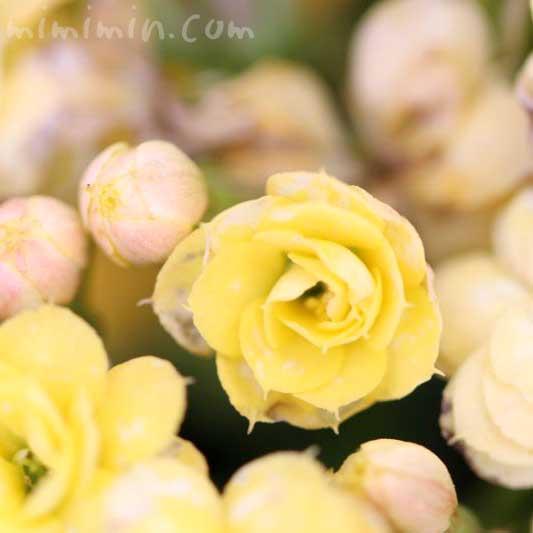 カランコエの花言葉・誕生花の画像
