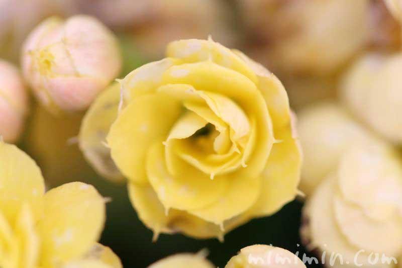 カランコエの花の写真・花言葉・毒性・誕生花の画像
