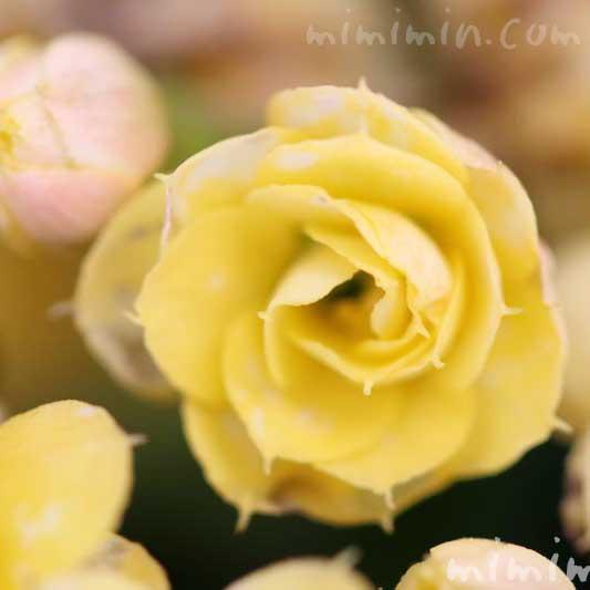 カランコエの写真・花言葉・毒性・誕生花の画像