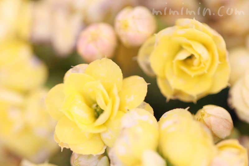 カランコエの花言葉と誕生花の画像