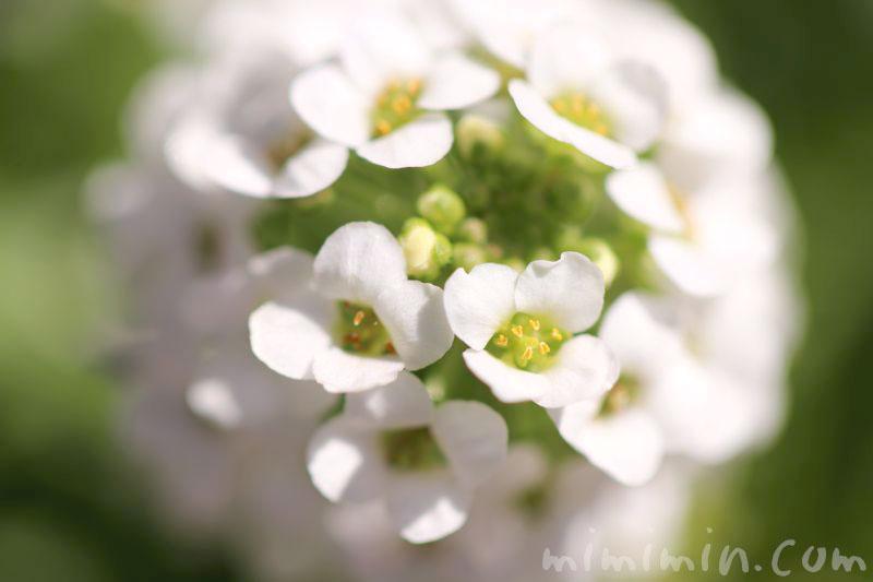 スイートアリッサムの花言葉・白いスイートアリッサムの花の写真の画像