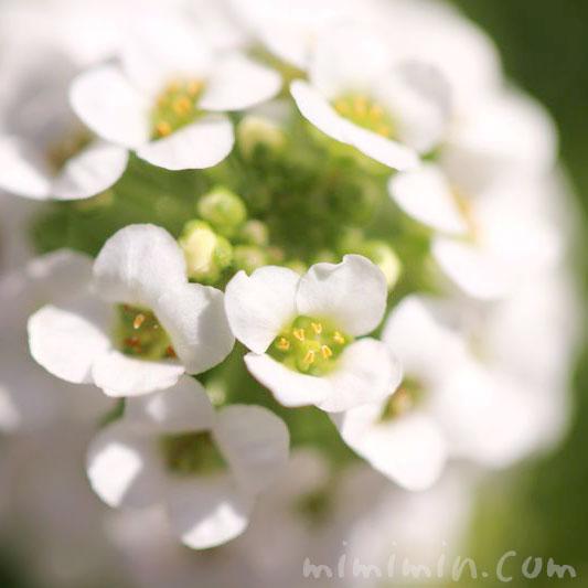 スイートアリッサムの花言葉・白いスイートアリッサムの写真の画像