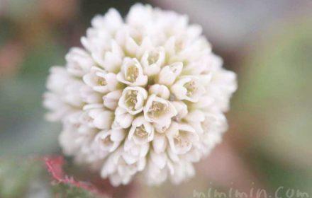 ヒメツルソバ(白)花の写真・花言葉の画像