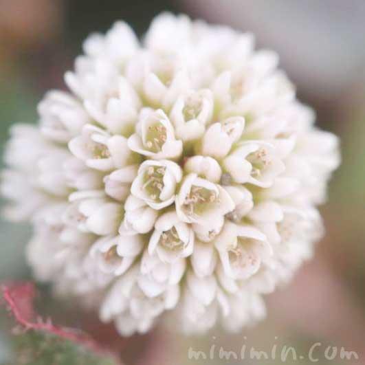 ヒメツルソバ(白)の写真・花言葉の画像
