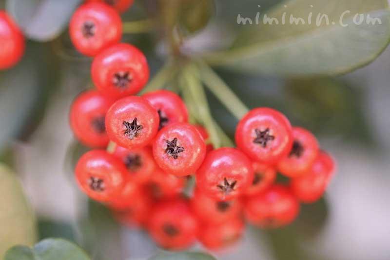 ピラカンサの写真 花言葉