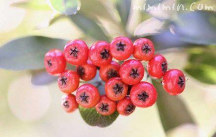 赤いピラカンサの写真 花言葉