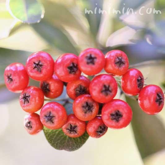 赤いピラカンサの写真&花言葉の画像