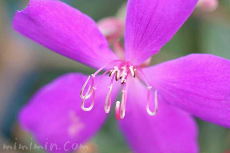 シコンノボタンの写真・花言葉の画像