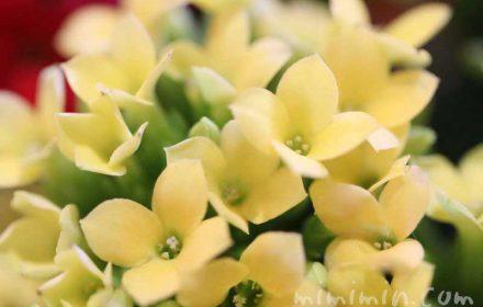 カランコエの花・黄色の画像