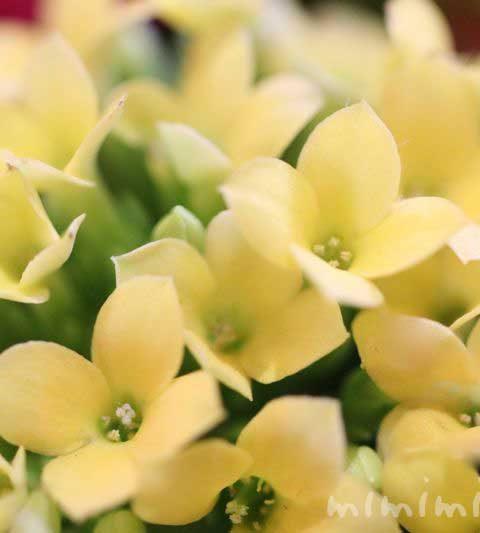カランコエの花言葉・毒性・誕生花