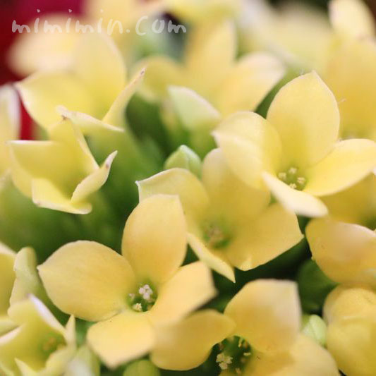 カランコエの花・黄色