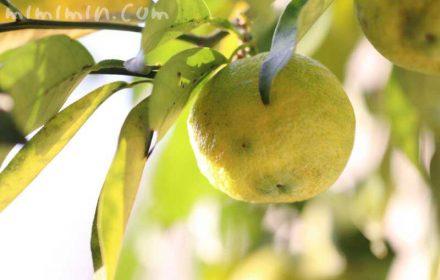 柚子の効能