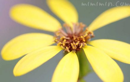 ツワブキの花の写真と花言葉の画像