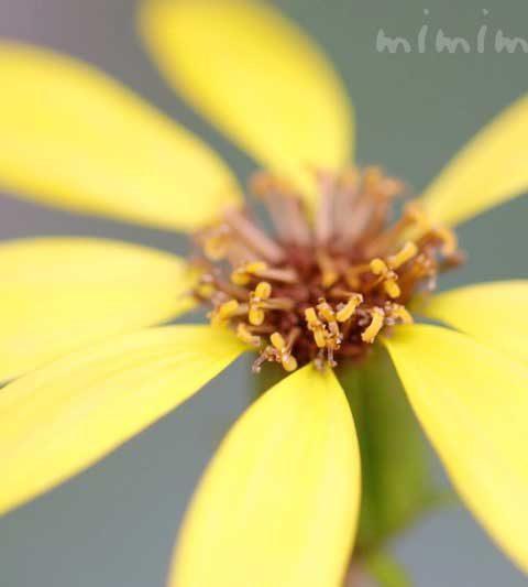ツワブキの花の写真&花言葉