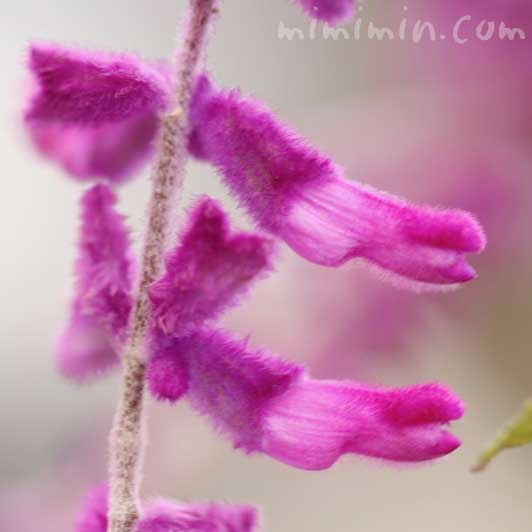 サルビア・レウカンサ(紫)の写真と名前の由来と花言葉