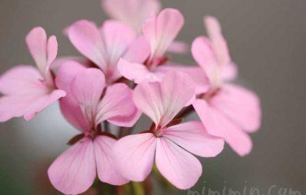 ゼラニウム(ピンク色)の写真と花言葉と香りの効能