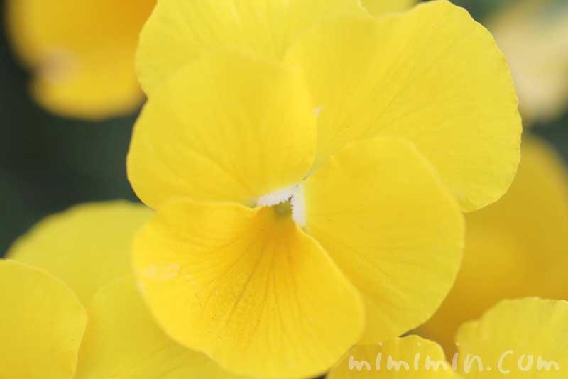 パンジーの花(黄色)の写真・パンジーの花言葉(色別)の画像