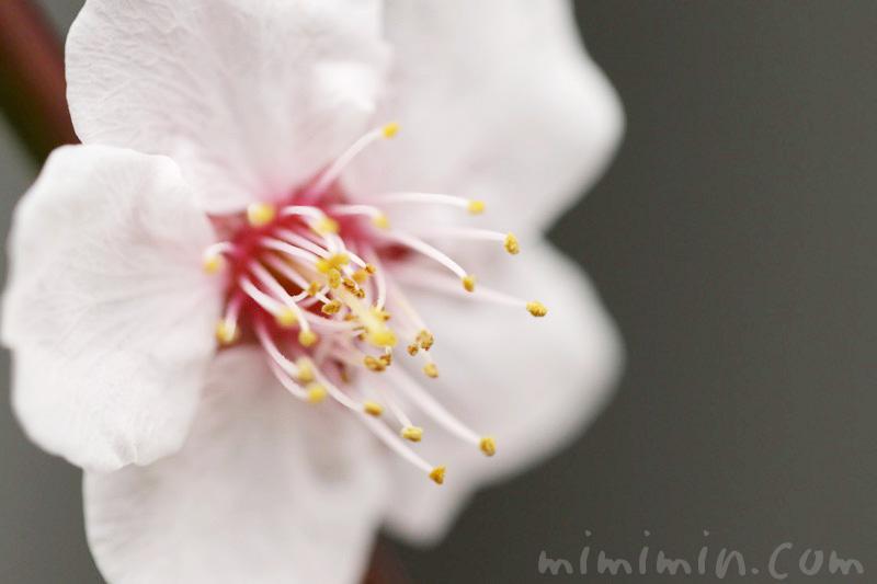 白い梅の写真と花言葉の画像