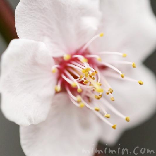 白い梅の写真 花言葉 誕生花の画像