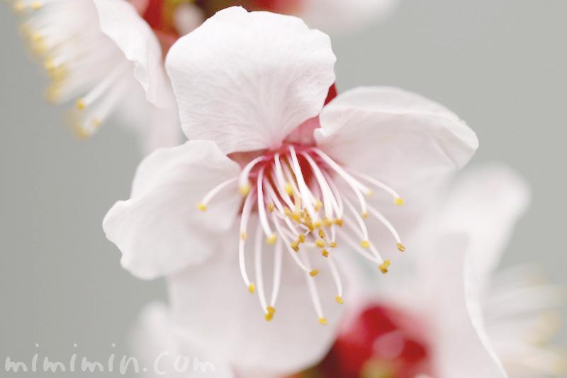 白梅の写真と花言葉